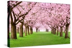 Gourgeous Cherry Trees In Full Blossom by Smileus