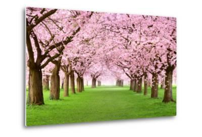 Gourgeous Cherry Trees In Full Blossom