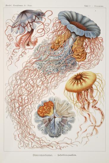 """Smimthsonian Libraries: """"Discomedusae"""" by Ernst Heinrich Philipp August Haeckel--Art Print"""