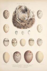 Smimthsonian Libraries: Nest of Acrulocephalus Familiaris