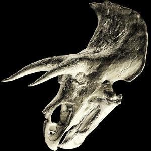 Triceratops Dinosaur Skull by Smithsonian Institute
