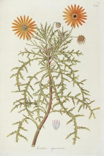 Smithsonian Libraries: Arctotis squarrosa--Art Print
