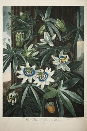 Smithsonian Libraries: The Common Blue Passion Flower by Robert John Thornton