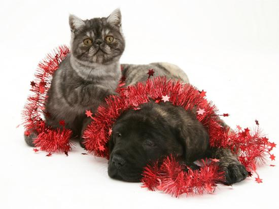 Smoke Exotic Kitten with Brindle English Mastiff Puppy Wrapped with Christmas Tinsel-Jane Burton-Photographic Print