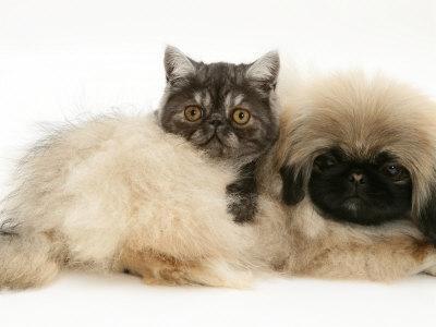 https://imgc.artprintimages.com/img/print/smoke-exotic-kitten-with-pekingese-puppy_u-l-q10o1rh0.jpg?p=0
