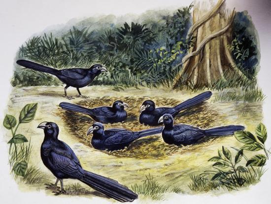 Smooth-Billed Ani Community (Crotophaga Ani), Cuculidae--Giclee Print