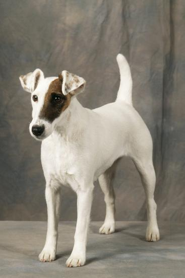Smooth Fox Terrier Dog--Photographic Print