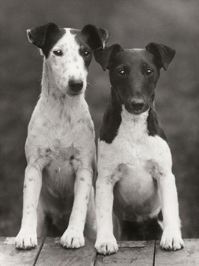 Smooth Fox Terriers-Thomas Fall-Photographic Print