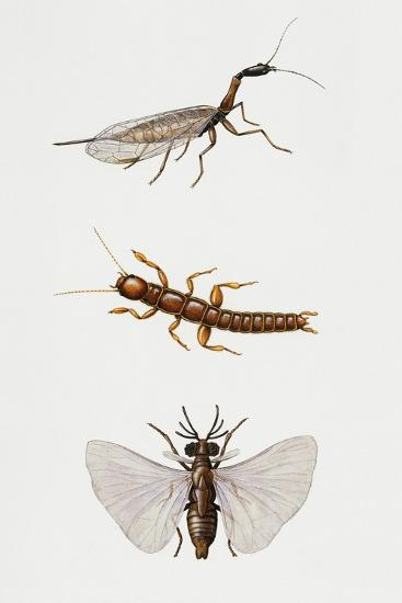 Snakefly (Raphidioptero)--Giclee Print
