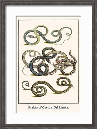 Snakes Of Ceylon Sri Lanka Art Print Albertus Seba Art Com