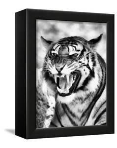 Angry Tiger Face by Snap2Art