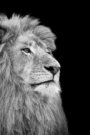 Black And White Isolated Lion Face by Snap2Art