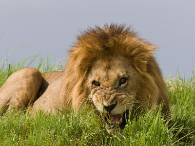 Snarling African Lion Lying in the Grass-Beverly Joubert-Photographic Print