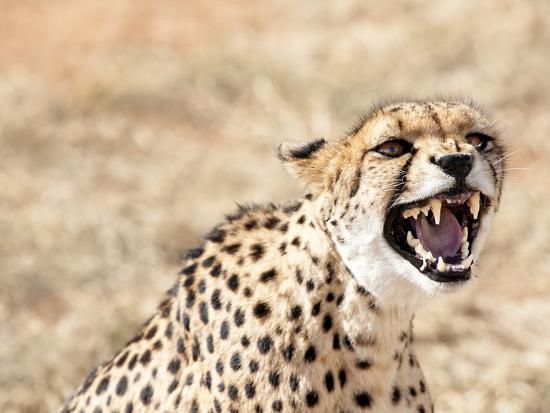Snarling Cheetah (Acynonix Jubatus) Showing Teeth, Kalahari Plains, Namibia, Africa-Kim Walker-Photographic Print