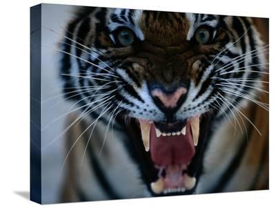 Snarling Tiger-Michael Nichols-Stretched Canvas Print