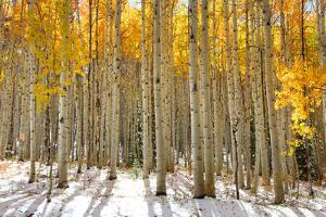 Aspen Trees in the Snow in Early Winter Time by SNEHITDESIGN