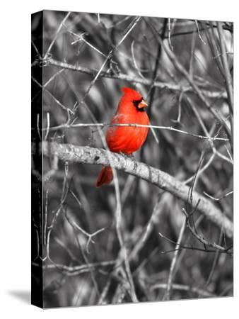 Northern Cardinal Bird on the Branch