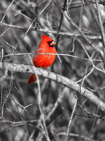 Northern Cardinal Bird on the Branch