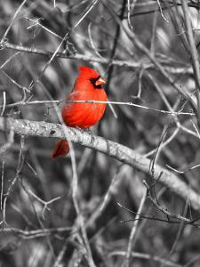 Northern Cardinal Bird on the Branch by SNEHITDESIGN