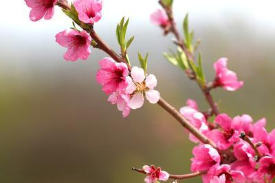 Pink Cherry Blossom in Spring Time