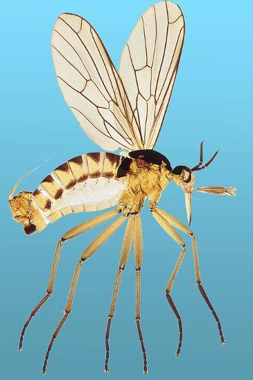 Snipe Fly, Light Micrograph-Dr. Keith Wheeler-Photographic Print