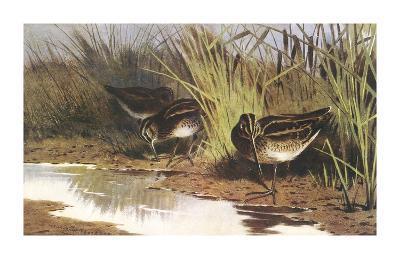 Snipe-Archibald Thorburn-Premium Giclee Print
