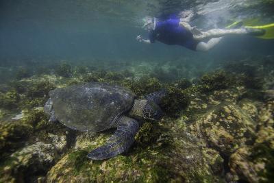 Snorkeler Swimming with a Green Sea Turtle-Jad Davenport-Photographic Print
