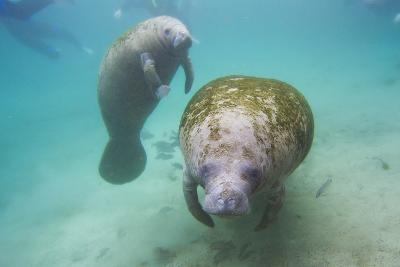Snorkeling Tourists Watching a Florida Manatee and Her Calf Among a School of Small Fish-Mike Theiss-Photographic Print