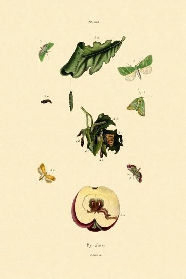 Snout Moths, 1833-39--Giclee Print