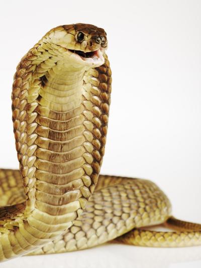 Snouted Cobra-Martin Harvey-Photographic Print