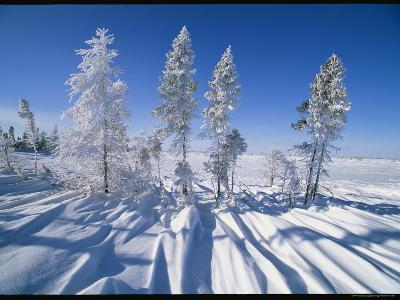 Snow-Blanketed Evergreen Trees in Wapusk National Park-Norbert Rosing-Photographic Print