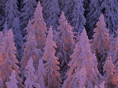 https://imgc.artprintimages.com/img/print/snow-blanketed-fir-trees-in-germany-s-black-forest-at-sunrise_u-l-p8ivvo0.jpg?p=0