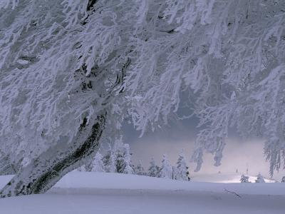 Snow-Blanketed Trees in a Fairy Tale Winter Landscape-Norbert Rosing-Photographic Print