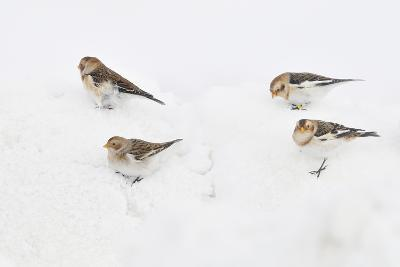 Snow Buntings (Plectrophenax Nivalis) Searching for Food in Snow, Cairngorms Np, Scotland, UK-Fergus Gill-Photographic Print