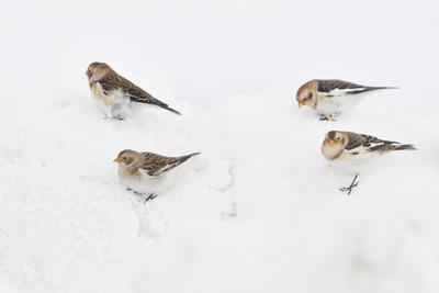 https://imgc.artprintimages.com/img/print/snow-buntings-plectrophenax-nivalis-searching-for-food-in-snow-cairngorms-np-scotland-uk_u-l-q10o5dn0.jpg?p=0