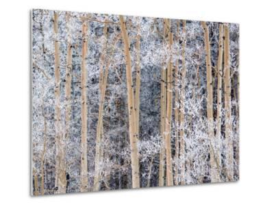 Snow Clings to Aspens in the Sangre De Cristo Mountains-Michael Melford-Metal Print