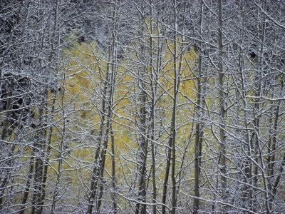 https://imgc.artprintimages.com/img/print/snow-covered-branches-of-a-stand-of-aspen-trees-make-a-lacy-web-like-pattern_u-l-p3rbcf0.jpg?p=0