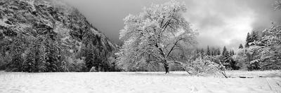 Snow Covered Oak Tree in a Valley, Yosemite National Park, California, USA--Framed Photographic Print