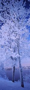 Snow Covered Trees at Frozen Riverside, Vuoksi River, Imatra, Finland
