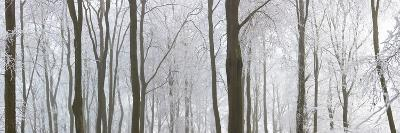 Snow Covered Trees in a Forest, Wotton, Gloucester, Gloucestershire, England--Photographic Print