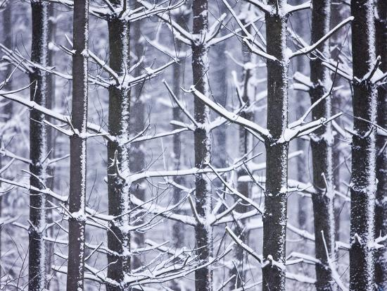 Snow-covered Trees in Forest-Jim Craigmyle-Photographic Print