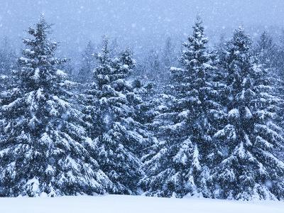 Snow Covered Trees in the High Peaks Region of Adirondack Park-Michael Melford-Photographic Print
