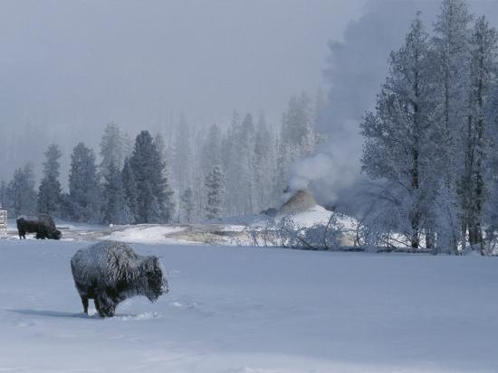 Snow Dusted American Bison Forage Near a Steaming Geyser-Tom Murphy-Photographic Print