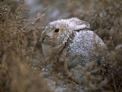 Snow Dusted Desert Cottontail Rabbit Camouflaged in Grassland-Joel Sartore-Photographic Print