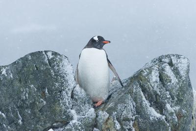 Snow Falls on a Gentoo Penguin, Pygoscelis Papua, at Ronge Island in Antarctica-Jeff Mauritzen-Photographic Print