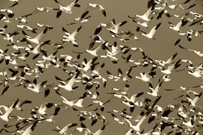 Snow Geese Bird, Bosque Del Apache National Wildlife Refuge, New Mexico, USA-Hugh Rose-Photographic Print