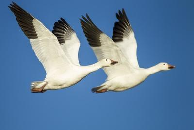 https://imgc.artprintimages.com/img/print/snow-geese-bosque-del-apache-national-wildlife-refuge-new-mexico_u-l-pzqnhm0.jpg?p=0