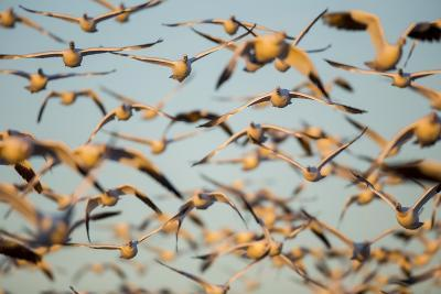 Snow Geese, Bosque Del Apache, New Mexico-Paul Souders-Photographic Print