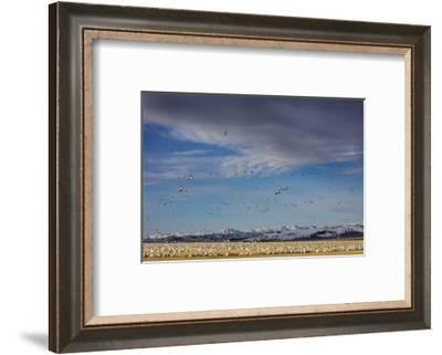 Snow geese feeding in barley field stubble near Freezeout Lake Wildlife Management Area, Montana-Chuck Haney-Framed Photographic Print
