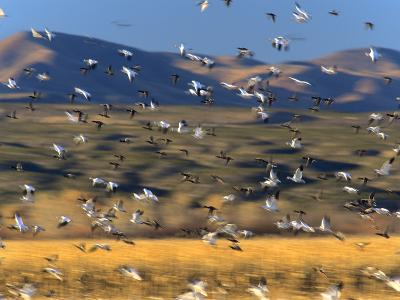 Snow Geese Flock, New Mexico, Usa-Tim Fitzharris-Photographic Print